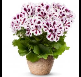 Pelargonium grandiflorum PAC® ´Aristo Purple Stripes´ / Muškát velkokvětý, bal. 6 ks sadbovačů