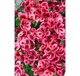 Pelargonium x grandiflorum Clarion® ´Pink with Eye´ / Pelargonie růžová, bal. 6 ks sadbovačů