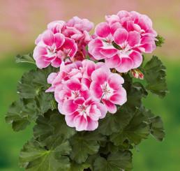 Pelargonium x zonale Grandeur® Dark Pinkberry/ Pelargonie , bal. 3 ks, 3x K7