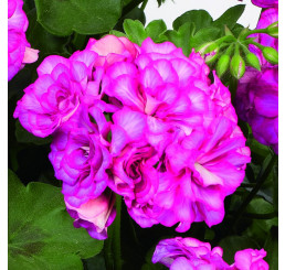 Pelargonium pelt. Grandeur® ´Ivy Arctic Rose´ / Muškát převislý, bal. 6 ks sadbovačů
