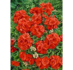Pelargonium cultivars Grandeur® ´Pure Orange´ / Muškát, bal. 6 ks sadbovačů