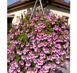 Pelargonium crispum Angeleyes® ´Bicolor´ / Muškát anglický, bal. 6 ks sadbovačů