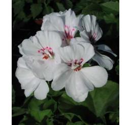 Pelargonium pelt. ´Blanche Roche´ / Muškát převislý, bal. 6 ks, 6x K7