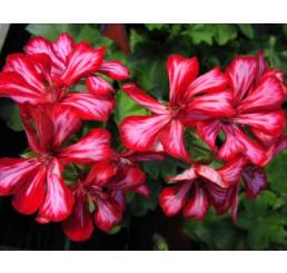 Pelargonium pelt. PAC® ´Global Stars and Stripes´ / Muškát převislý, bal. 6 ks sadbovačů