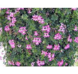 Pelargonium p. ´Acapulco´ / Muškát převislý, bal. 6 ks sadbovač.