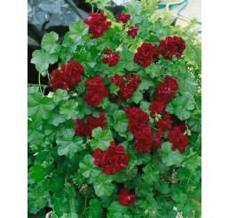 Pelargonium pelt. ´PAC® ´Tommy´ / Muškát převislý, bal. 6 ks, 6x K7