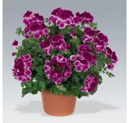 Pelargonium crispum Angelseyes ´Burgundy´ / Pelargonie anglická fialová, bal. 6 ks sadbovačů