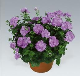 Pelargonium peltatum ´Lily´ / Pelargonie převislá fialová, bal. 6 ks sadbovač.