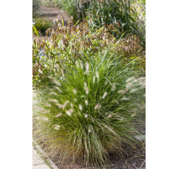 Pennisetum alopecuroides / Dochan psárkovitý, C1,5
