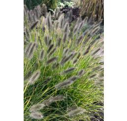 Pennisetum alopecuroides ´Black Beauty´ / Dochan psárkovitý, K9