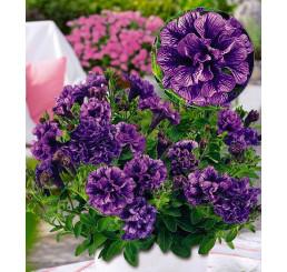 Petunia x atkinsiana Tiny Pleasure® ´Double Amethyst Vein´ / Petúnie, bal. 6 ks sadbovačů