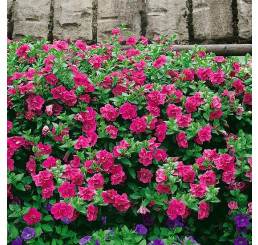 Petunia x atkinsiana Funny Pleasure® ´Double Hot Pink´ / Surfinie, K7