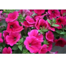 Petunia ´Bingo® Neon Pink´ / Petunie, bal. 6 ks sadbovačů