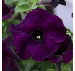 Petunia ´Crazytunia® Blue Night´ / Petunie, bal. 3 ks, 3x K7