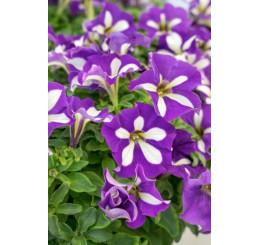 Petunia Crazytunia® ´Lucky Lilac´/ Petunie, bal. 6 ks sadbovačů