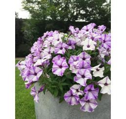 Petunia Prettytoonia® ´Blue Jet´ / Petunie, K7