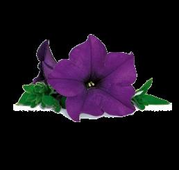 Petunia SURFINIA® ´Blue´ / Petunie, bal. 6 ks sadbovačů