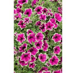Petunia ´Cascadias Pitaya / Petunie, bal. 6 ks sadbovačů