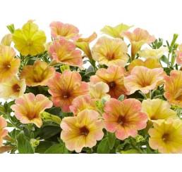Petunia Chameletunia® Mango´ / Petunie, bal. 3 ks, 3x K7