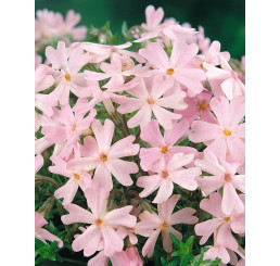 Phlox subulata ´Ronsdorfer Schone´ / Plamenka šídlovitá růžová, K9