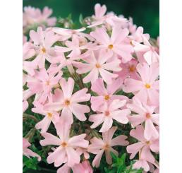 Phlox subulata ´Ronsdorfer Schone´ / Plamenka šídlovitá růžová, C1,5
