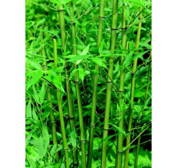 Phyllostachys bissetti/ Pabambus zelený, trs, K9