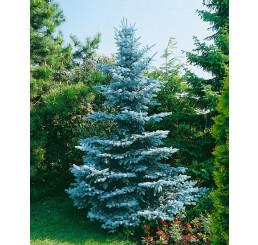 Picea pungens ´Oldenburg´ / Smrk pichlavý , 100-120 cm, C20