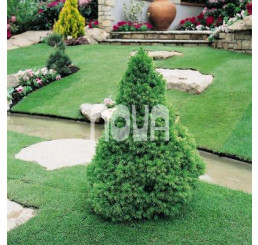 Picea glauca ´Conica´ / Smrk sivý kuželovitý, 60-80 cm, KB