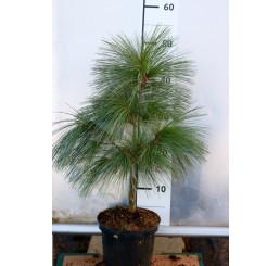 Pinus schwerinii ´Wiethorst´/ Borovice , 40-60 cm, C2