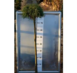 Pinus strobus ´Green Curls´ / Borovice na kmínku, 80-120 cm, C7,5