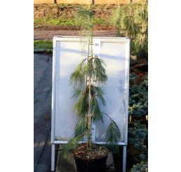 Pinus strobus ´Pendula´ / Borovice na kmínku, 80-120 cm, C7,5