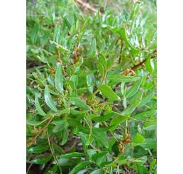 Pistacia lentiscus / Řečík lentišek, 10-15 cm, K9