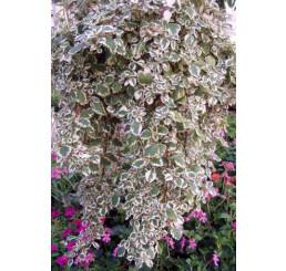 Plectranthus coleoides / Plektrant / Moud, bal. 3 ks, 3xK7