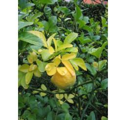 Poncirus trifoliata / Citronečník trojlistý, 10-15 cm, K9