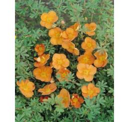 Potentilla fruticosa ´Sunset´ / Mochna křovitá oranžová, 15 - 20 cm, K12