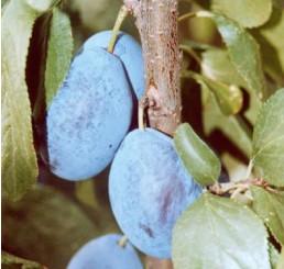 Prunus domestica ´Presenta´ / Slivoň podzimní, myr.
