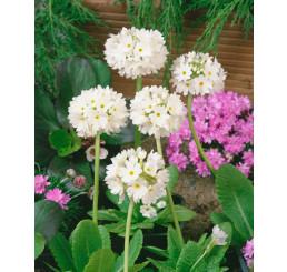 Primula denticulata ´Alba´ / Petrklíč/ Prvosenka zoubkatá, K9