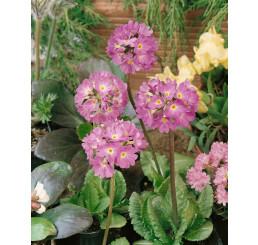 Primula denticulata ´Lilac´ / Petrklíč / Prvosenka zoubkatá, K9