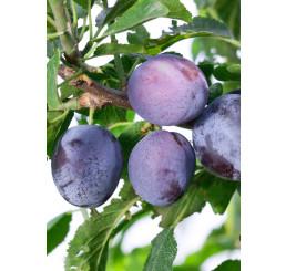 Prunus domestica  ´Toptaste´ / Slivoň podzimní velkoplodá, St. Julien A