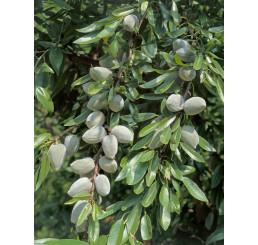 Prunus dulcis ´Palatina´ / Mandloň , GF-677