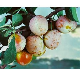 Prunus domestica ´Althanová´ / Ryngle červená, myr.