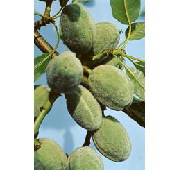Prunus dulcis / Mandloň sladkoplodá krajová, mandloň