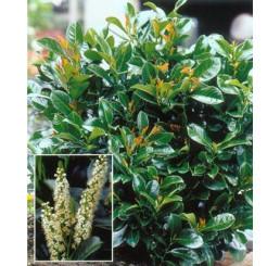 Prunus laurocerasus ´Etna´® / Bobkovišeň lékařská, 25-30 cm, C2,5