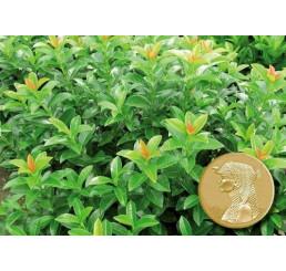 Prunus laurocerasus ´Kleopatra´® / Bobkovišeň lékařská, K9