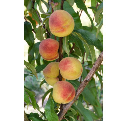 Prunus persica ´Fertilia Morettini´ / Broskvoň, GF 677