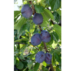 Prunus domestica ´President´ / Slivoň, myr.