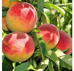 Prunus persica ´Redhaven´ / Broskvoň raná, B-VA-2
