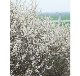Prunus spinosa / Trnka obecná, bal. 10 ks VK na živý plot