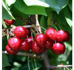 Prunus avium ´Van compact´ / Třešeň, Gisela 5