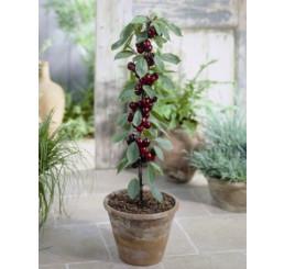 Prunus avium ´Sylvia´ / Třešeň pozdní (sloupovitá), Gisela 5